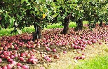 الحرب في سوريا لا تزال تعيق تصريف الموسم المتنامي للتفاح اللبناني